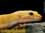 Super Hypo Carrot Tail leopard gecko photograph
