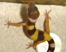 Leopard Gecko Care SheetLeopard Gecko Hatchling Care