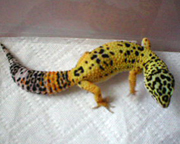 Leopard Gecko Morphs and genetic traits